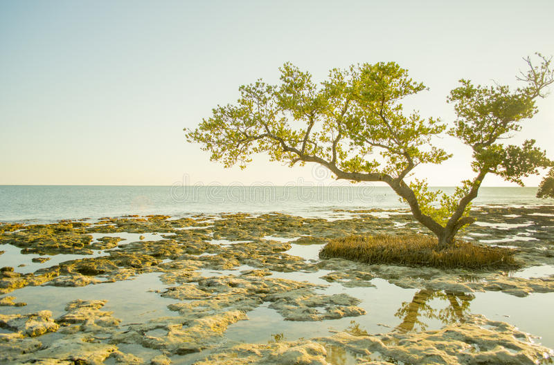 Árbol del mangle foto de archivo