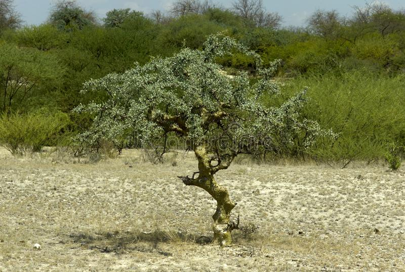 Árbol del myrrha del Commiphora imágenes de archivo libres de regalías