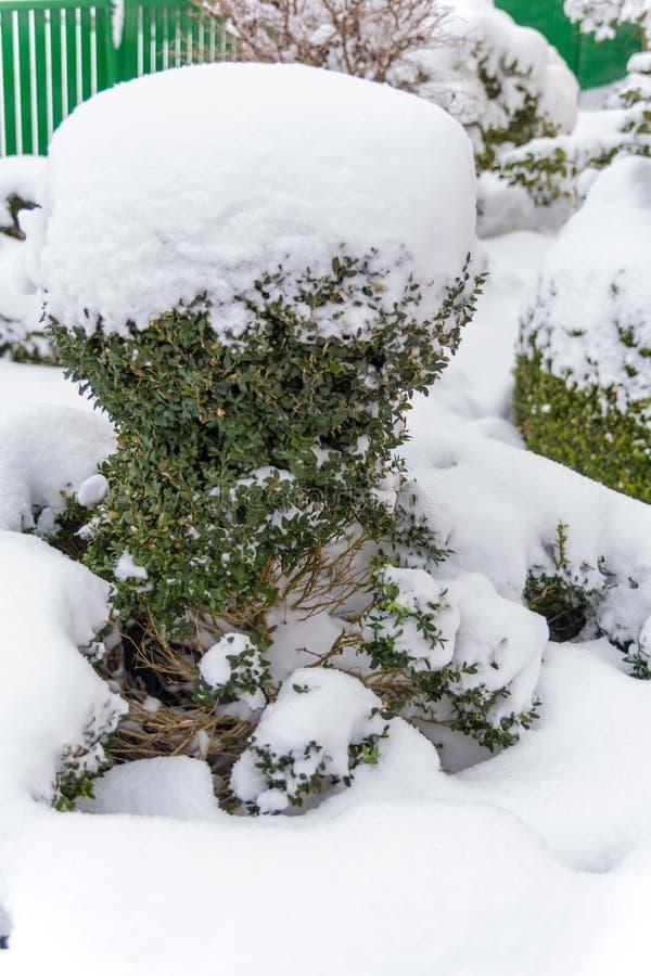 Árbol del ornamental Nevado fotografía de archivo libre de regalías