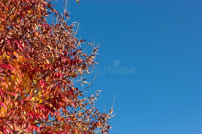 Árbol del otoño contra el cielo azul foto de archivo libre de regalías
