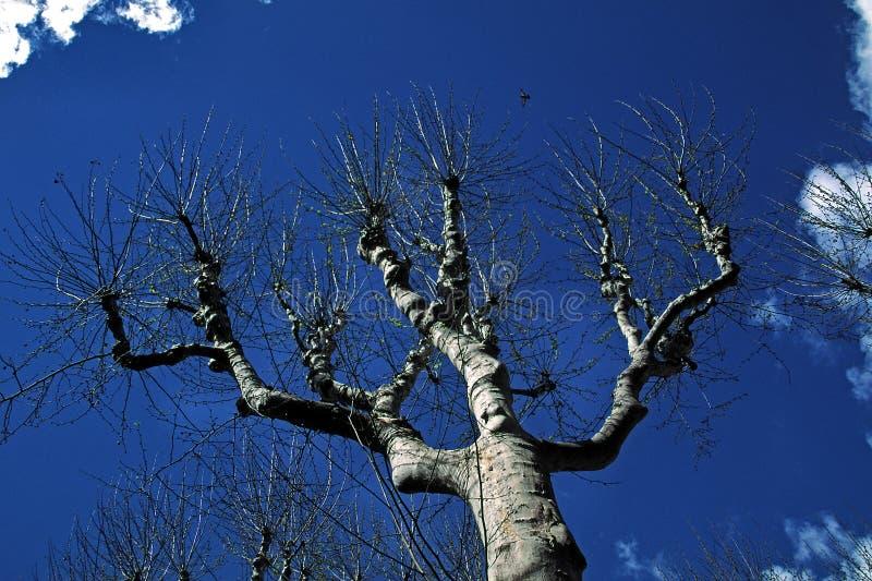 Árbol del Platanus en Aix-en-Provence, Provence, Francia foto de archivo