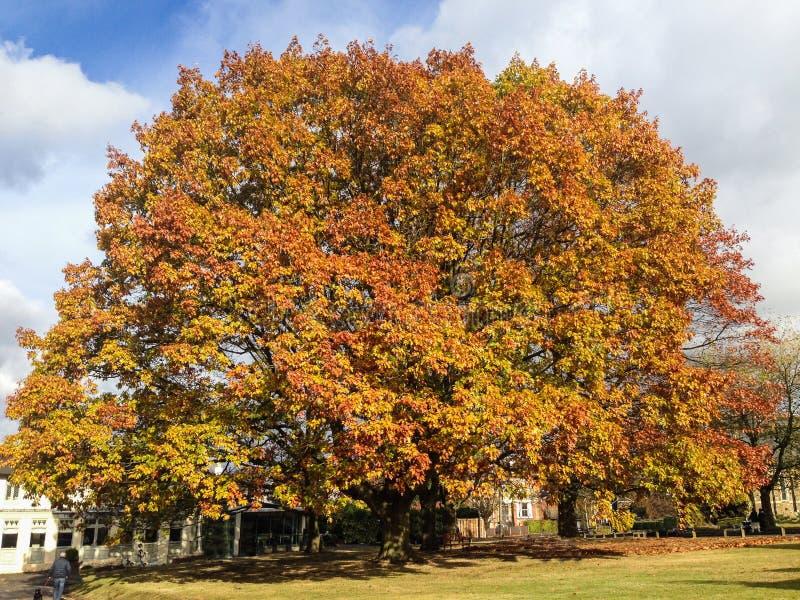 Árbol del sicómoro en otoño foto de archivo