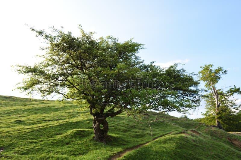 Árbol del solitario en primavera foto de archivo libre de regalías