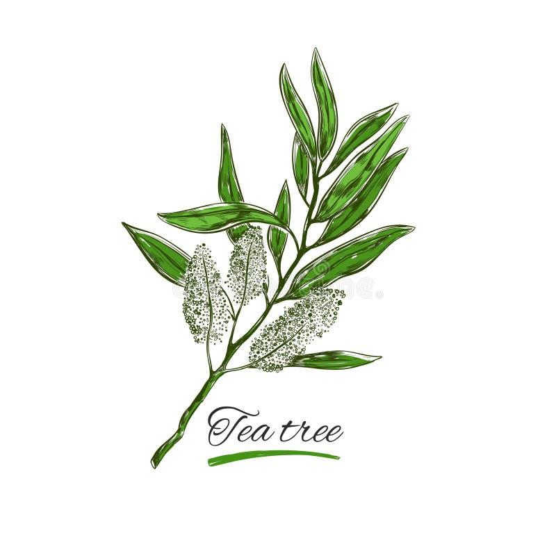 Árbol del té Vector Hierbas y flores naturales Cosméticos orgánicos libre illustration