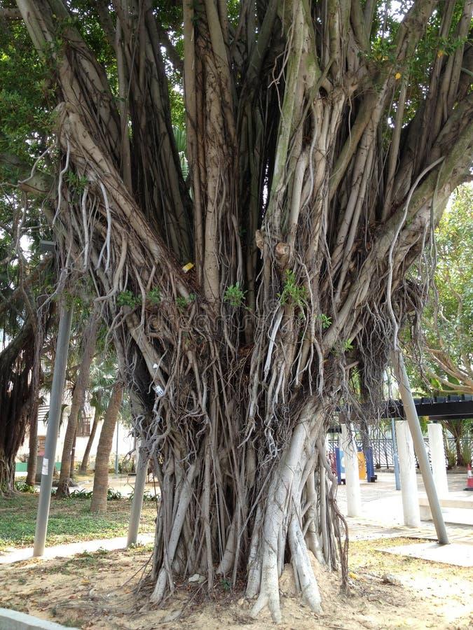 Árbol del Tai O foto de archivo libre de regalías