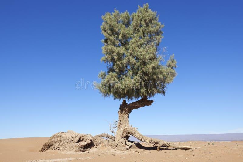 Árbol del Tamarisk (articulata del Tamarix) en el desierto del Sáhara. foto de archivo libre de regalías