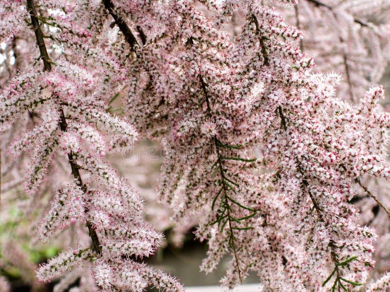 Árbol del Tamarisk en flor imagen de archivo