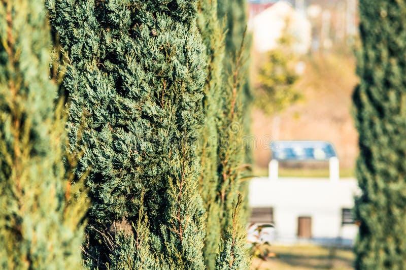 Árbol del Thuja en el parque fotografía de archivo libre de regalías
