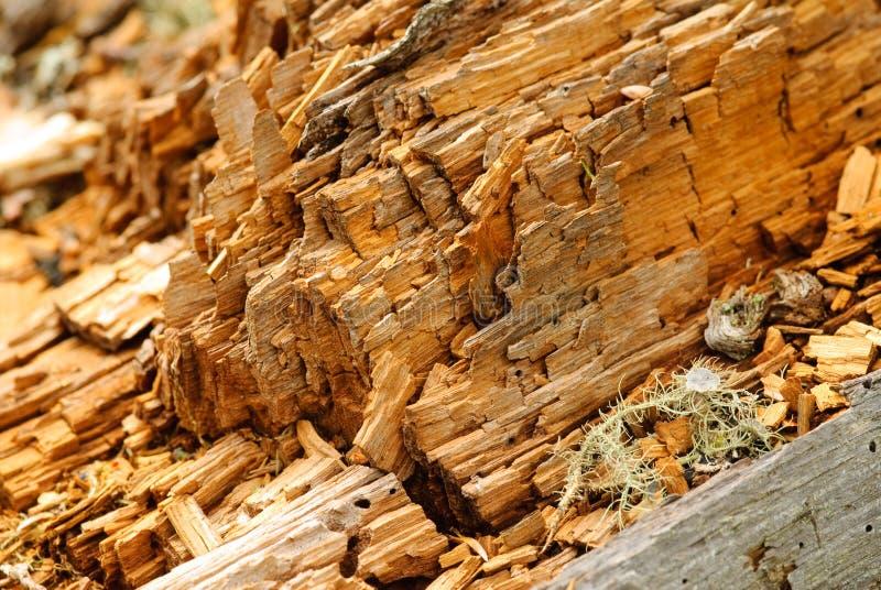 Árbol del Woodworm fotografía de archivo