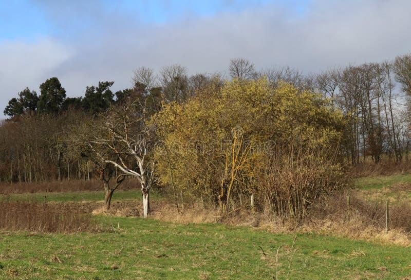 Árbol demasiado grande para su edad con el liquen amarillo en prado durante la estación suave Alemania, área del invierno de Midd imagen de archivo libre de regalías