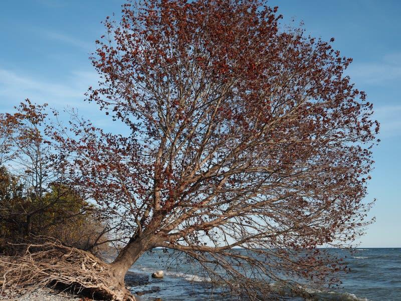 Árbol desarraigado en los colores de la caída que se inclinan sobre el lago Ontario foto de archivo