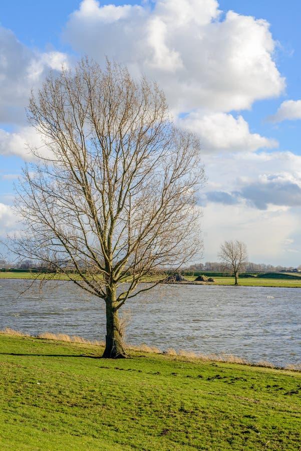 Árbol deshojado alto en los bancos de un río ancho foto de archivo libre de regalías