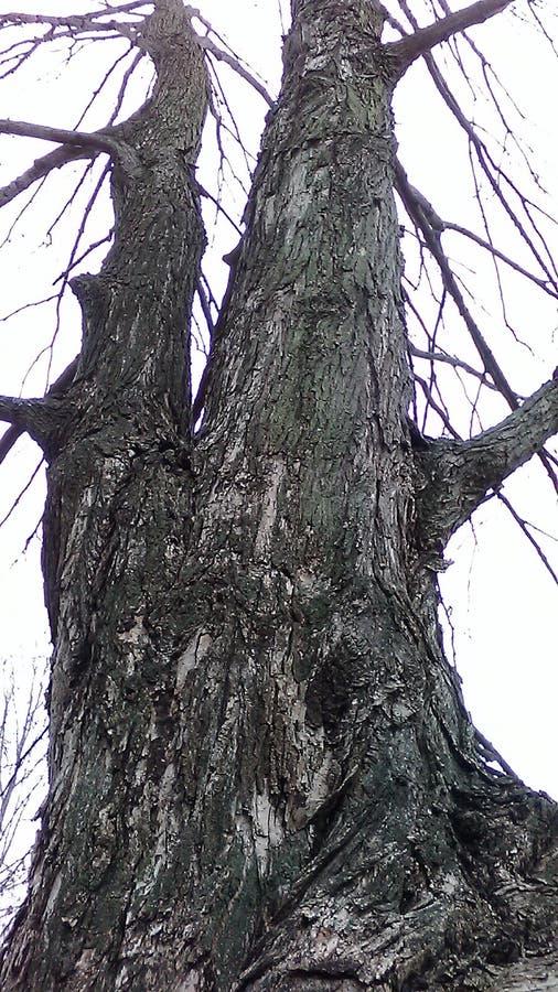 Árbol desnudo alto en el bosque imágenes de archivo libres de regalías