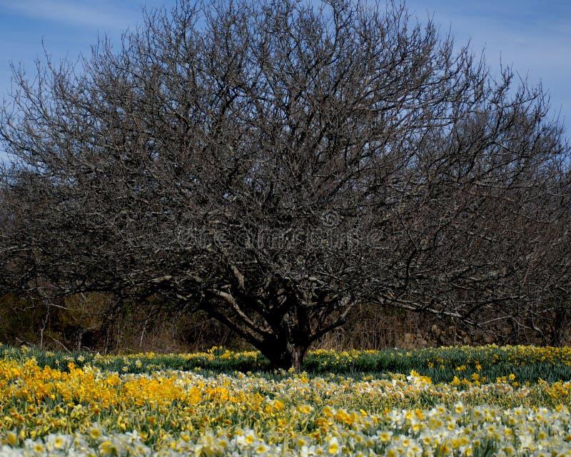 Árbol desnudo en el campo de dafodils imagen de archivo