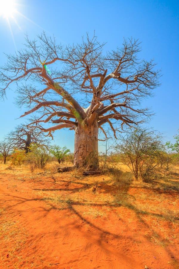 Árbol el Limpopo del baobab fotografía de archivo libre de regalías