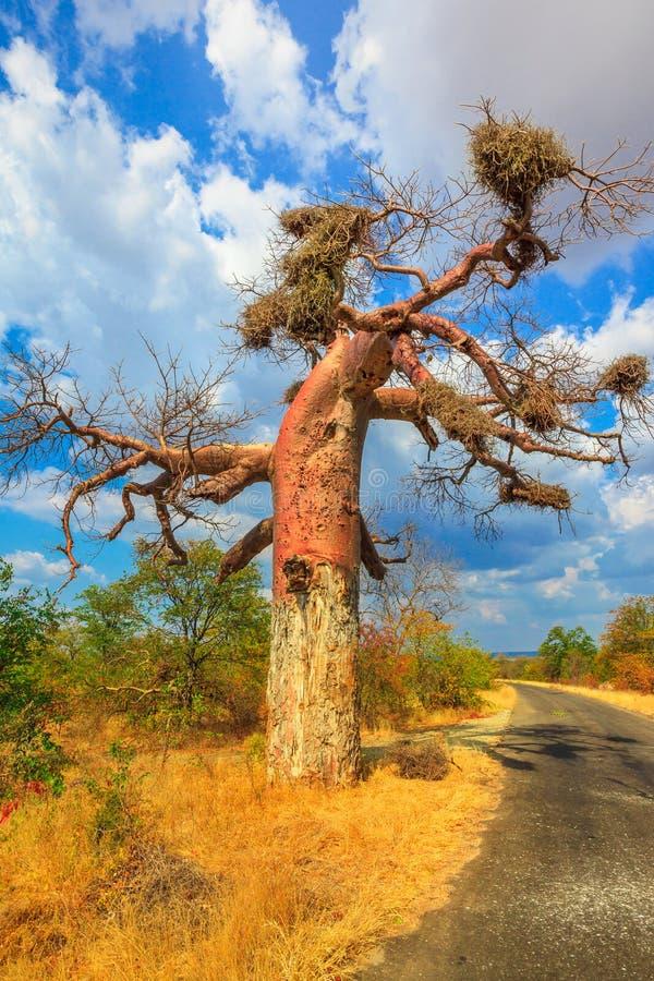 Árbol el Limpopo del baobab imagenes de archivo