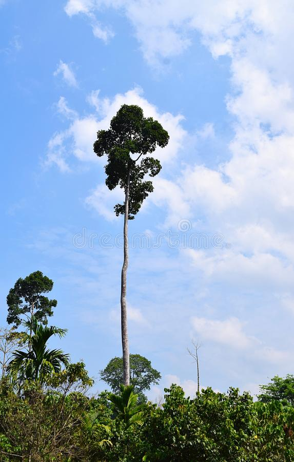 Árbol elevado alto contra el cielo - islas de Dipterocarpus Turbinatus - de Gurjan - de Andaman, la India - madera de la madera d fotos de archivo libres de regalías