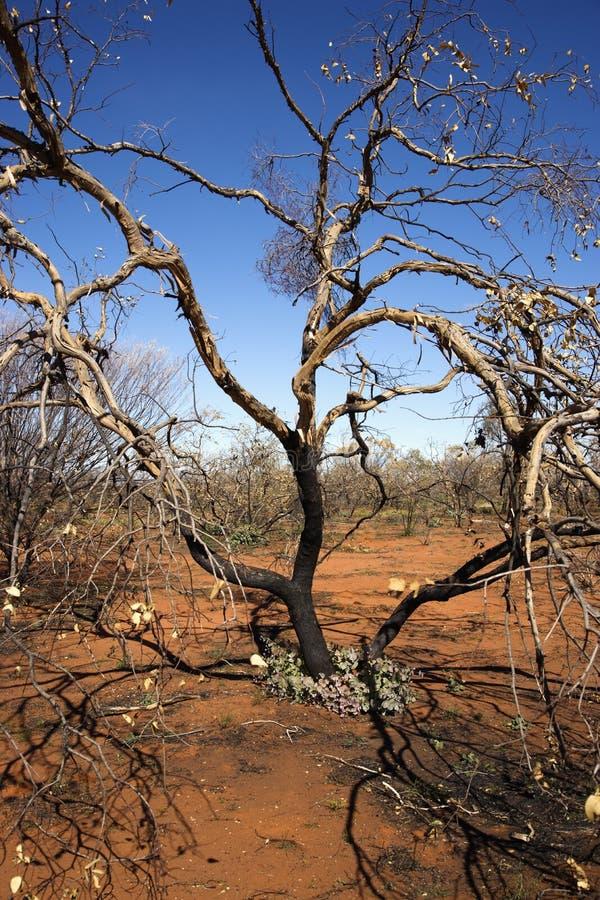 Árbol en Australia foto de archivo