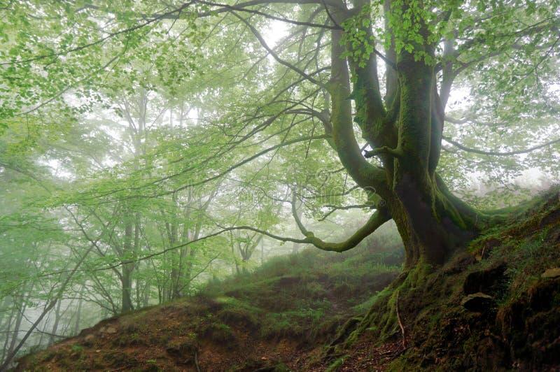 Árbol en bosque de niebla fotos de archivo libres de regalías