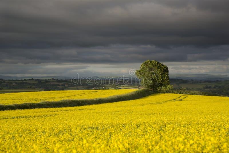 Árbol en campos de la rabina amarilla en la luz del sol del ajuste con el fondo tempestuoso fotografía de archivo libre de regalías