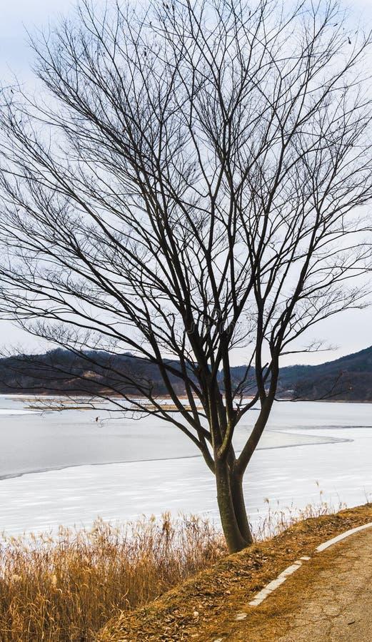 Árbol en el banco del lago congelado fotografía de archivo