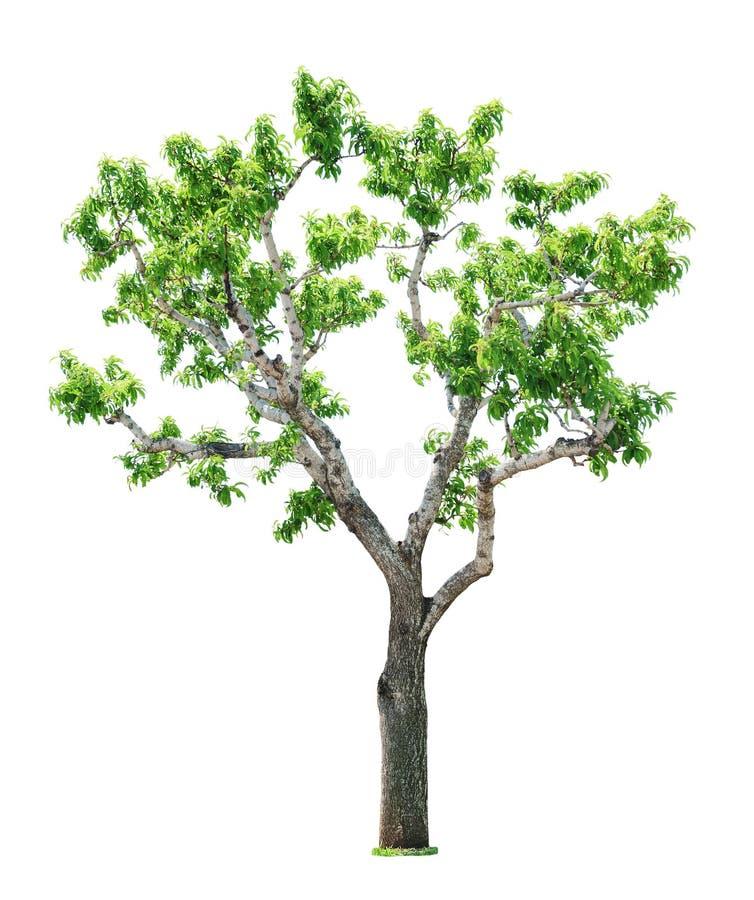 Árbol en el fondo blanco fotos de archivo libres de regalías