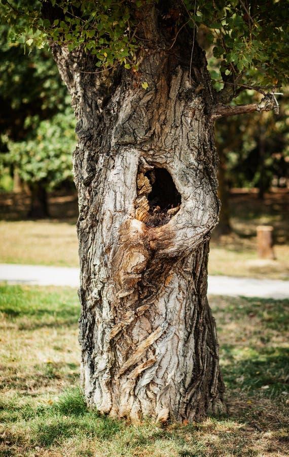 Árbol en el parque con un hueco fotos de archivo