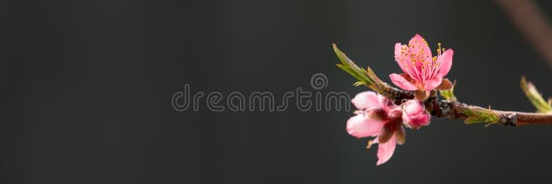 Árbol en flor de la primavera fotos de archivo libres de regalías