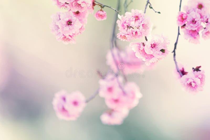 Árbol en flor de la primavera imágenes de archivo libres de regalías