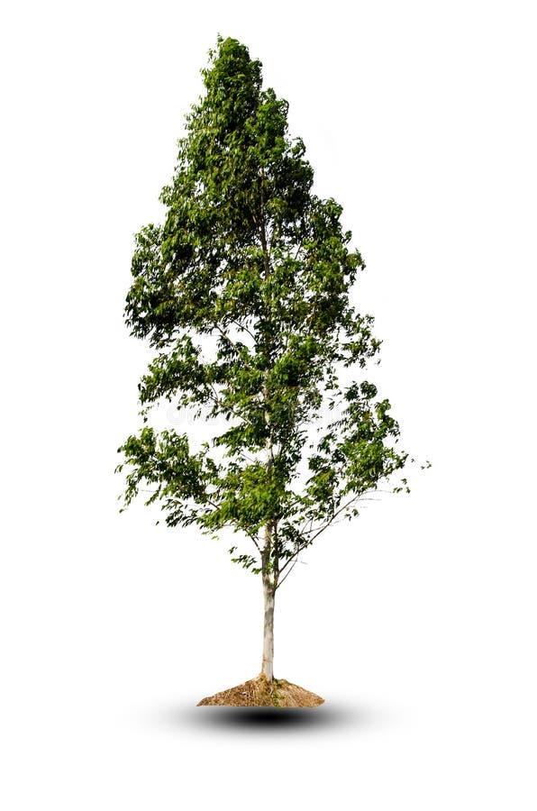 Árbol en fondo del aislante foto de archivo libre de regalías