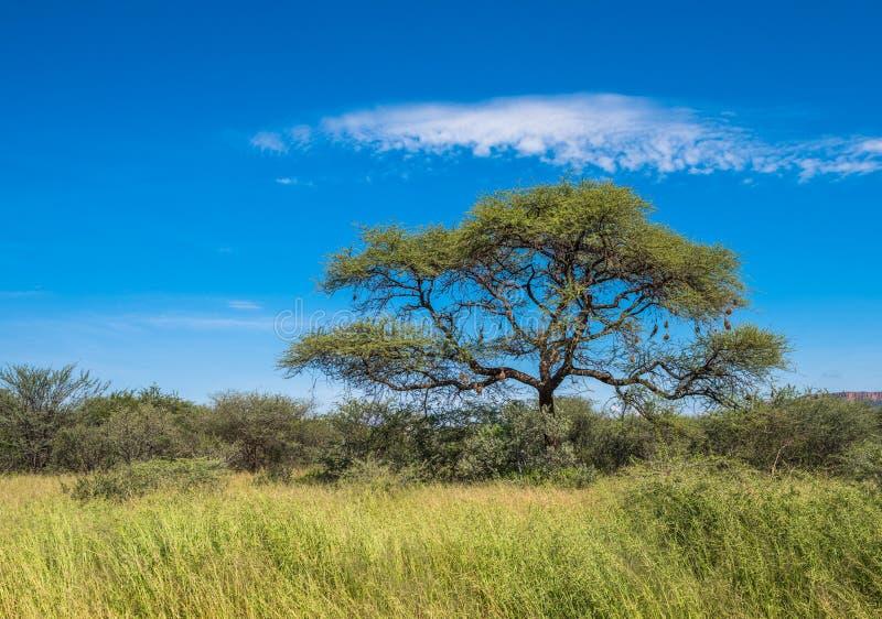 Árbol en la sabana, paisaje africano clásico fotografía de archivo