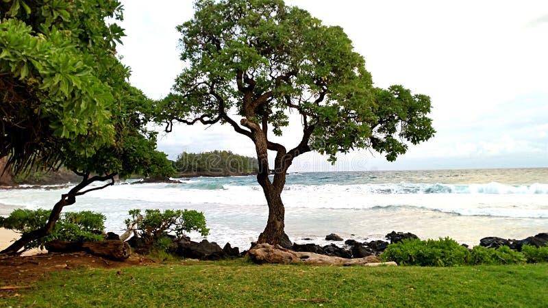 Árbol en Maui fotos de archivo