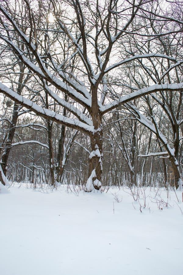 Árbol en nieve en parque del invierno Fondo congelado del bosque Ramas de árbol cubiertas con nieve contra el cielo de igualación fotos de archivo libres de regalías