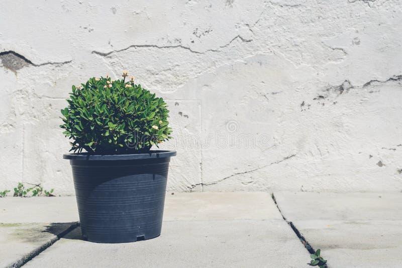 Árbol en potes y viejo fondo de la pared del cemento imágenes de archivo libres de regalías