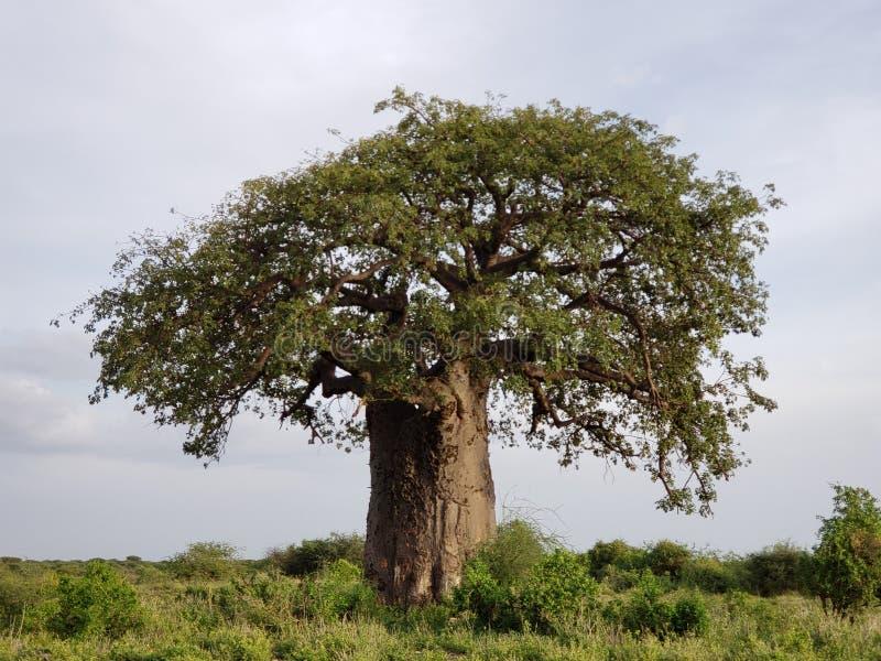 Árbol en Rift Valley, Tanzania del baobab, foto de archivo