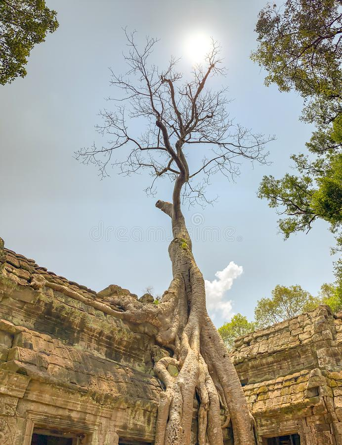 Árbol en ruinas de TA Prohm en Camboya fotos de archivo
