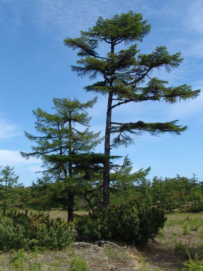 Árbol en Siberia fotos de archivo