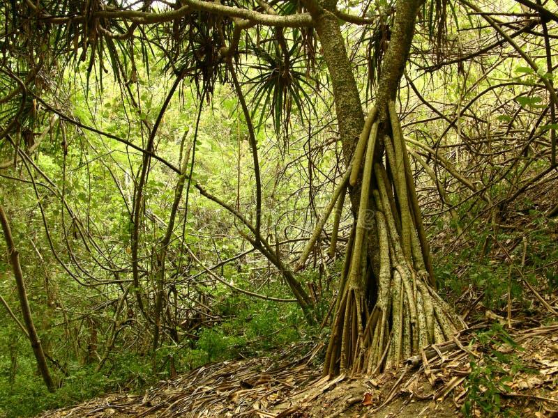 Árbol en Sigatoka fotografía de archivo libre de regalías