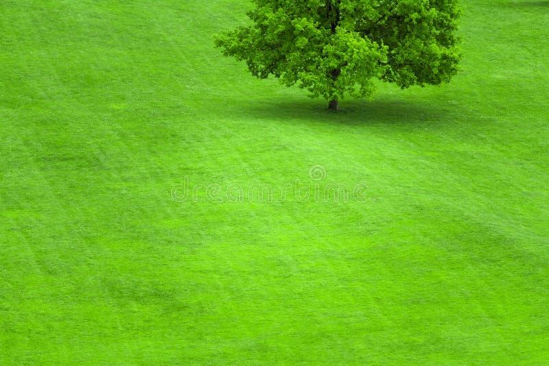 Árbol en un césped de la hierba verde fotos de archivo