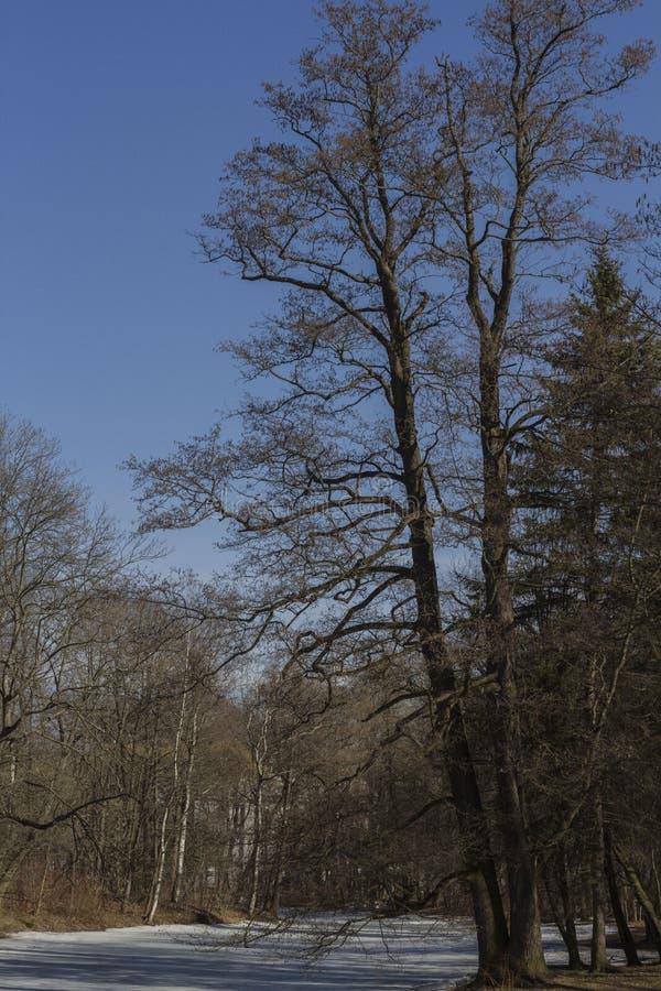 árbol en un fondo borroso iluminado por el sol de un bosque y de un lago cubiertos con hielo imagen de archivo
