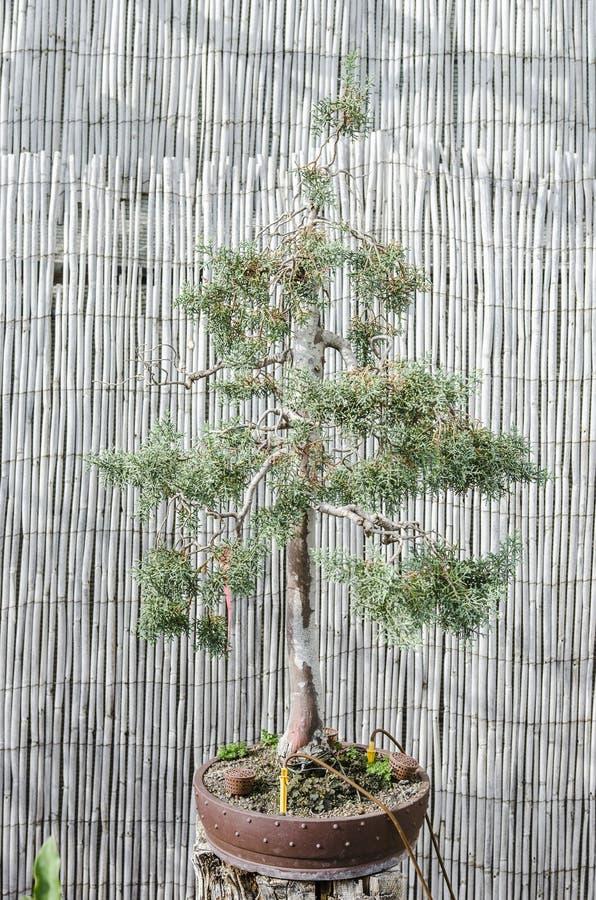 Árbol en un pote, bonsai de los bonsais del pino fotos de archivo libres de regalías