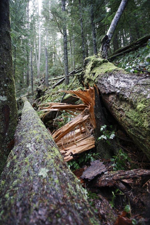 Árbol encajado a presión en el bosque fotografía de archivo libre de regalías