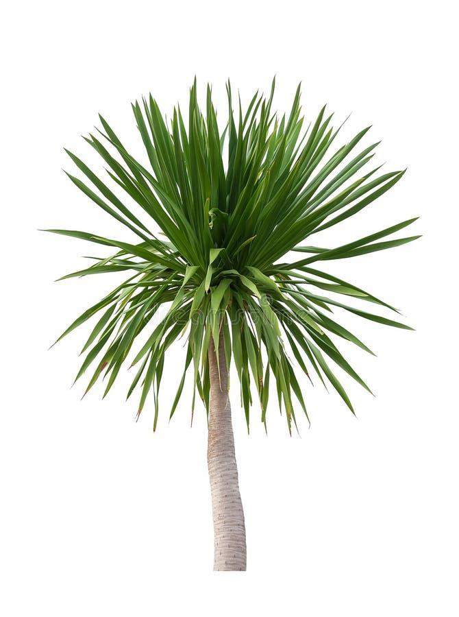 Árbol encendido en el fondo blanco Trayectoria de recortes Planta tropical, árbol del agavo del cochinchinensis del Dracaena Plan foto de archivo libre de regalías