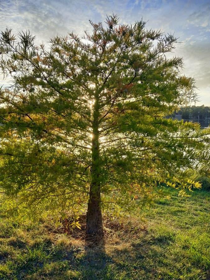 Árbol encendido trasero de la luz del sol con la charca imagen de archivo libre de regalías