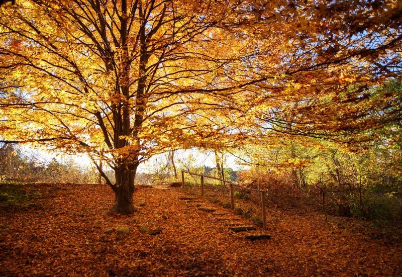 Árbol enorme con las hojas anaranjadas imagenes de archivo
