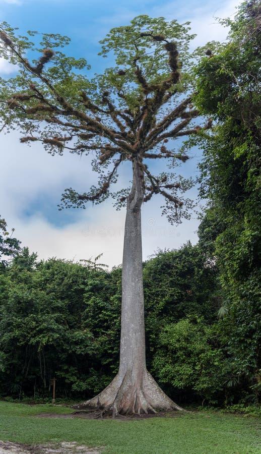 Árbol enorme en el parque de Tikal Objeto de visita turístico de excursión en Guatemala con los templos mayas y las ruinas del ce imagen de archivo libre de regalías