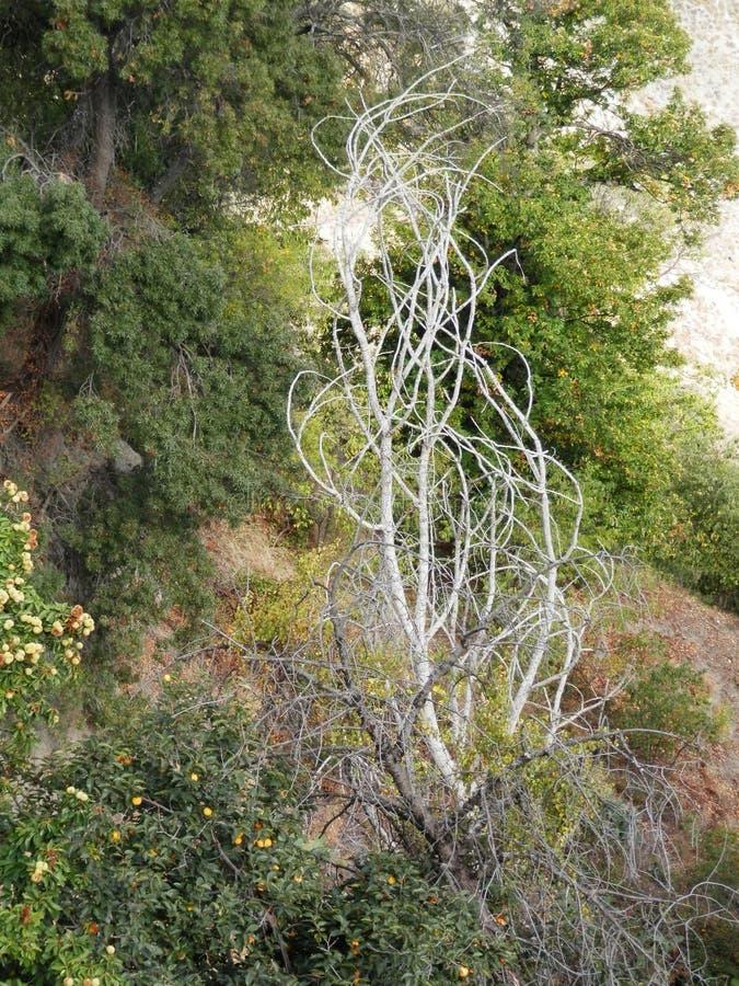 Árbol español extraño foto de archivo libre de regalías