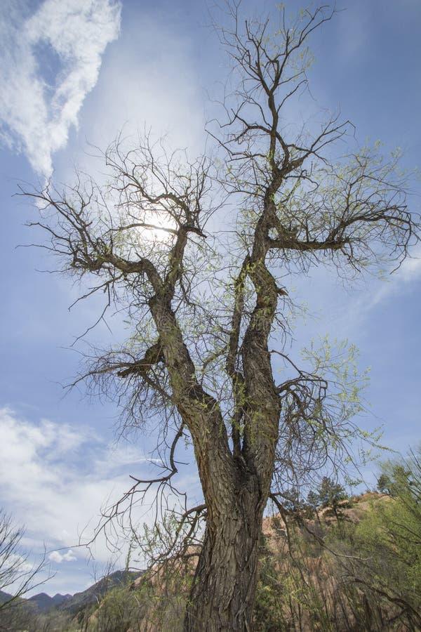 Árbol espeluznante del Cottonwood imágenes de archivo libres de regalías