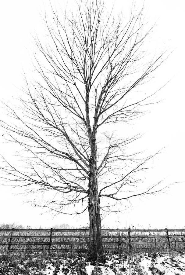Árbol estéril en meses de invierno imagenes de archivo