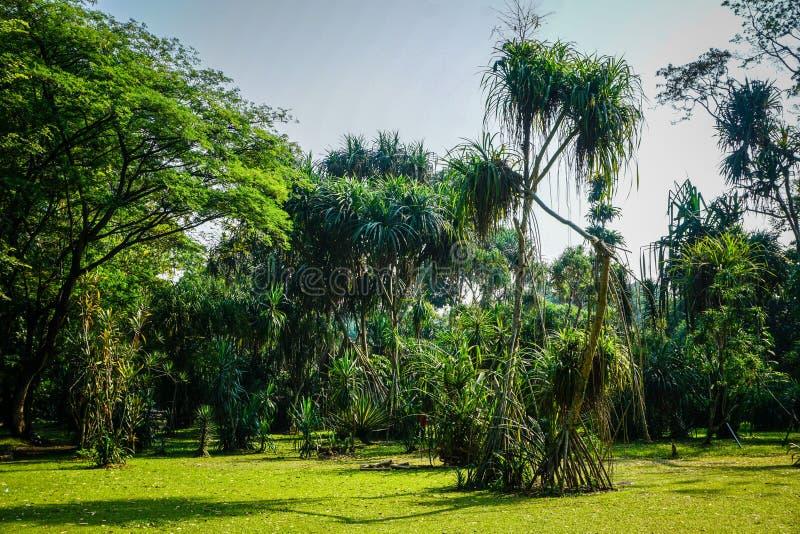 Árbol exótico del árbol del agavo de Pleomele de la selva tropical en Bogor Indonesia fotografía de archivo libre de regalías